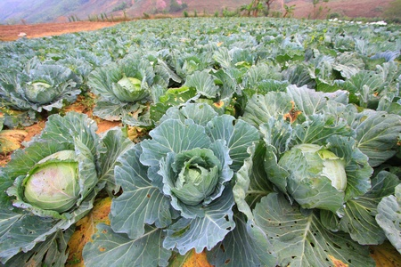 green cabbage: Biggest Cabbage Field in Thailand. Phetchaboon, North of Thailand Stock Photo