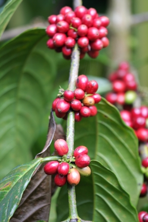 Coffee is a brewed beverage with a distinct aroma and flavor, prepared from the roasted seeds of the Coffea plant.