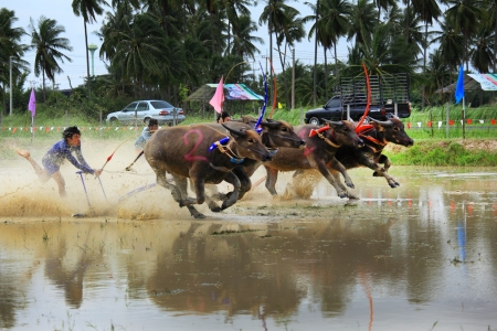 CHONBURI, THAILAND - August 04  Buffaloes racing on Aug 04, 2013 in Chonburi, Thailand The event is normally held before the rice planting season and marks the importance of buffaloes