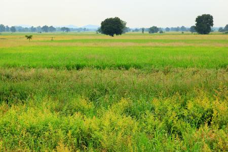 Rice field green grass cloud cloudy landscape background photo