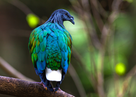 Nicobar Pigeon ,Caloenas nicobarica bird in forests photo