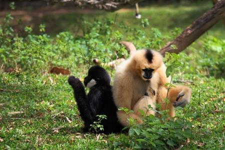 gibbon: Hoolock gibbon and white cheeked gibbon