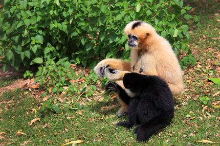 hominid: Hoolock gibbone bianco e gibbone dalle guance Archivio Fotografico