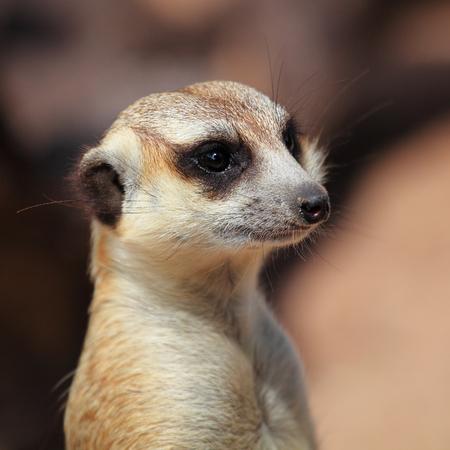 Meerkats in Kao kheow open zoo  photo
