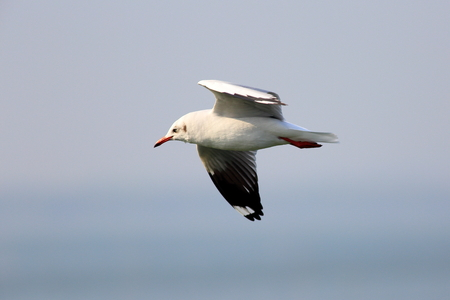 wingspread: A seagull in the blue sky
