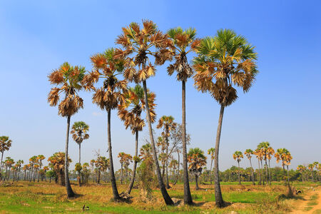 Sugar palms  borassus flabellifer  on the rice field ; Phetchaburi, Thailand photo