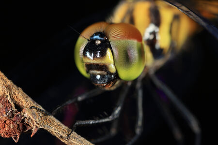 compound eyes: Closeup of a dragonfly perching on a dry stem
