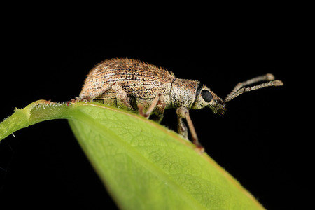 weevil: Hypomeces squamosus  Green weevil , Greenish yellow insect