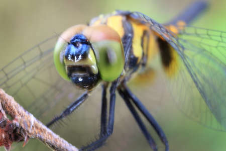 libellulidae: Closeup of a dragonfly perching on a dry stem