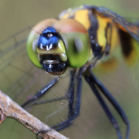 anisoptera: Closeup of a dragonfly perching on a dry stem