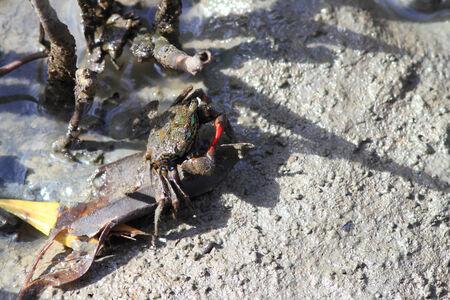 fiddler: A fiddler crab on mangrove. Stock Photo