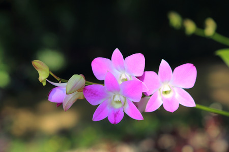 orchidaceae: Dendrobium orchid, Family Orchidaceae, Central of Thailand Stock Photo