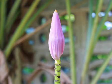 starchy food: Banana Blossom Purple Color Stock Photo