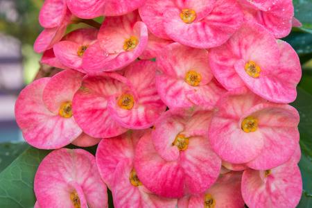 plantlet: Flowers Euphorbia milii,pink poi sian flowers