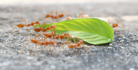 leaf cutter ant: ants carrying leaf on concrete floor Stock Photo