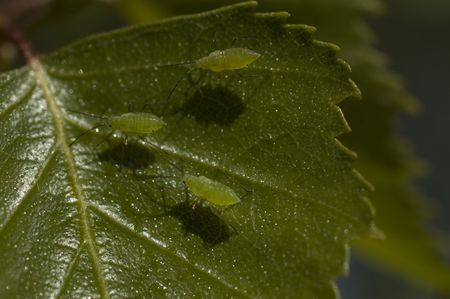 aphid: Tree Aphid walking on the birch leaf