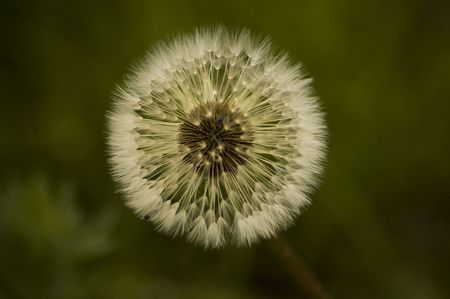 Dandelion flower is already bloomed and now is time to seed. Stock Photo - 4999230