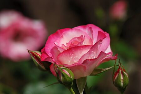 passions: pink rose
