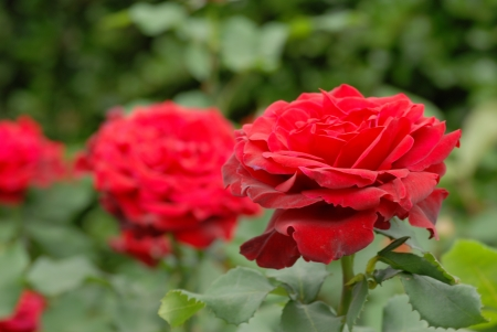 passions: red roses