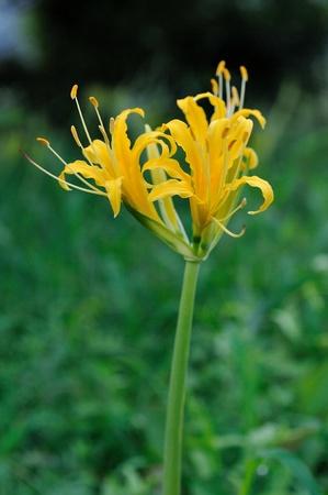 黄色のヒガンバナ