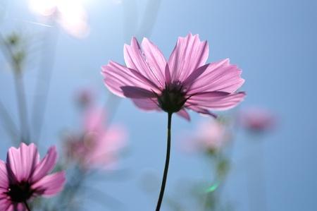 日光と比較してピンクのコスモス 写真素材