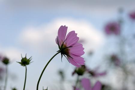 ピンクのコスモス 写真素材