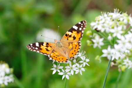 leek and butterfly photo
