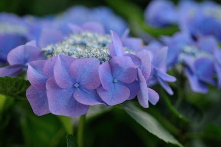 紫のアジサイ 写真素材