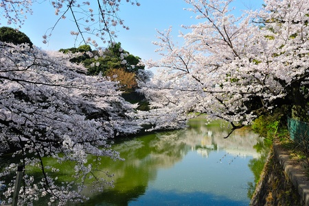 get a view of blooming cherry blossom photo