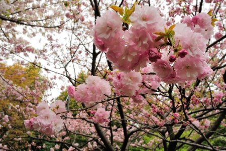 二重の花弁の桜 写真素材