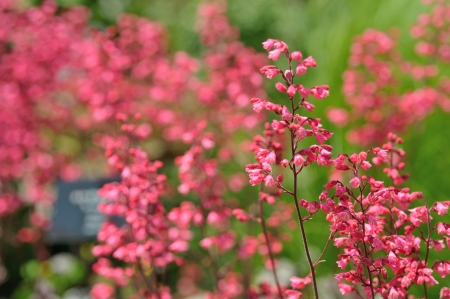 corallo rosso: campane di corallo rosso