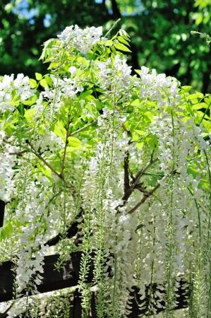 leguminosae: white  wisteria flowers