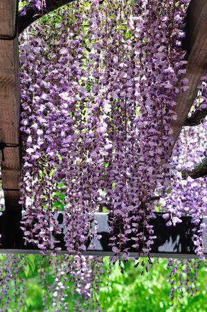 leguminosae: purple wisteria flowers Stock Photo