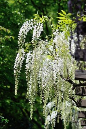 white  wisteria flowers photo