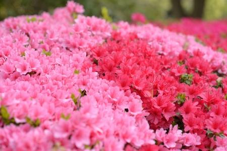 ピンクと赤のツツジ 写真素材