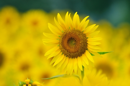 Sunflower Stock Photo - 21430973