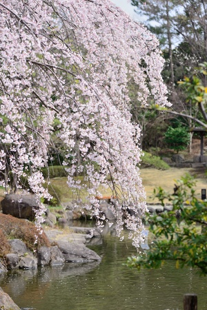 The tree of weeping cherry in full bloom photo