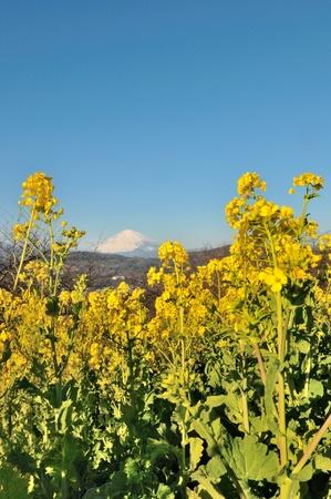 Mount Fuji and rape blossoms