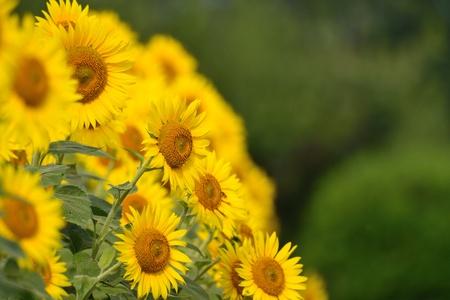 The sunflower field of midsummer photo