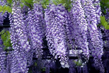 wisteria: wisteria flowers Stock Photo