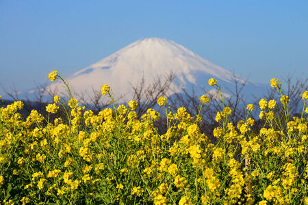 Mountain Fuji and rape blossoms  photo