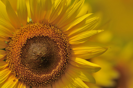 scorching: Close-up of sunflower
