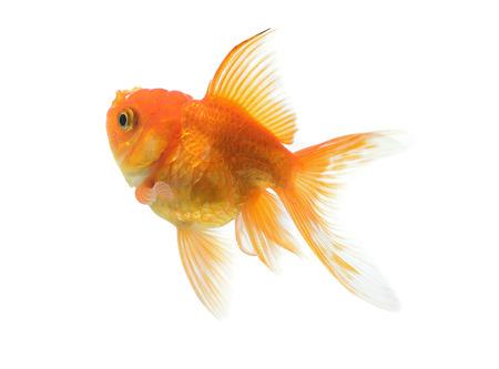 golden fish: Golden fish