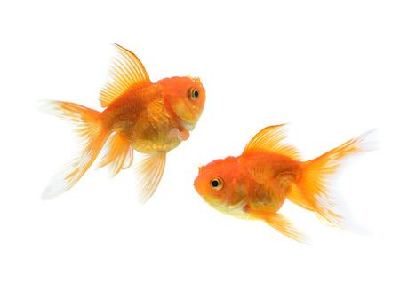 golden fish: golden fish on white background