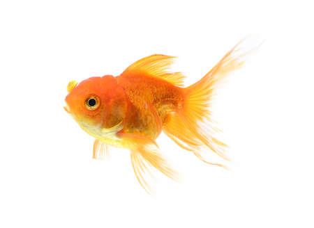 golden fish: Golden fish isolate on white