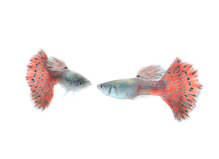guppy: guppy fish isolate on white Stock Photo