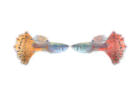 guppy fish: guppy fish isolate on white Stock Photo