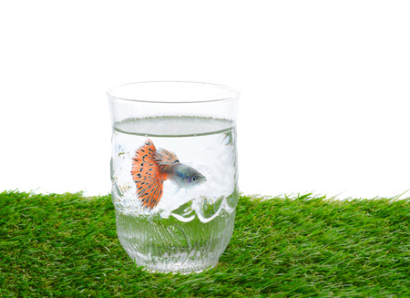 guppy: Guppy fish in glass of water on green field