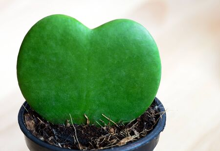 green heart: green heart cactus leaf in the pot
