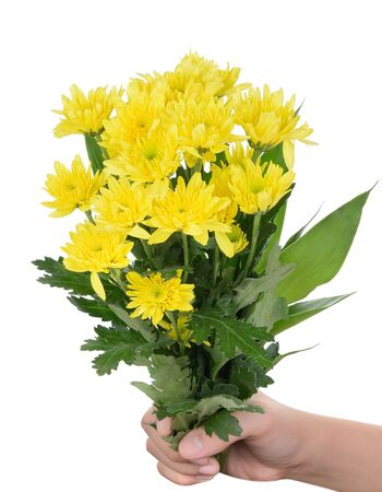 barberton daisy: hand holding yellow gerbera flowers on white background